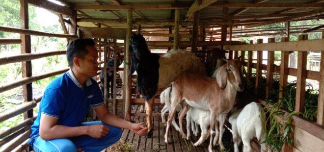Anton bersama kambing-kambingnya yang mulanya hanya sepasang. Dok. Pribadi.